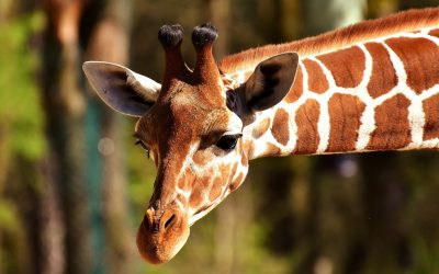 28. Girafsprog